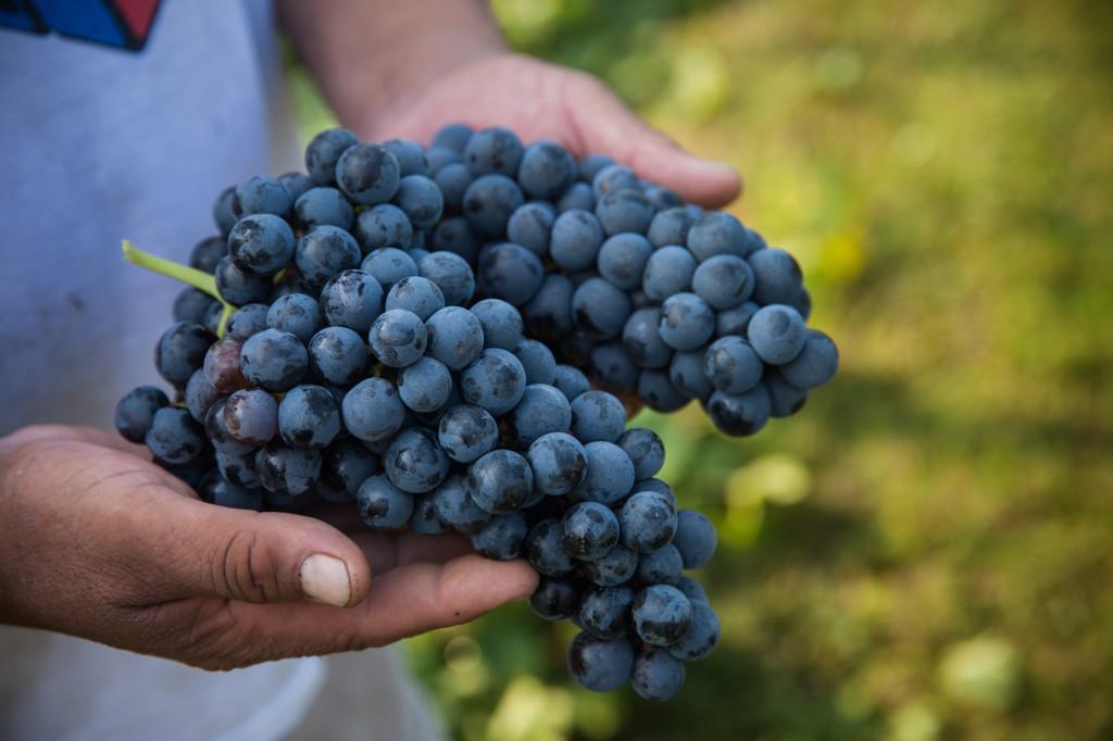 Arrington Vineyards Harvest 2013 38