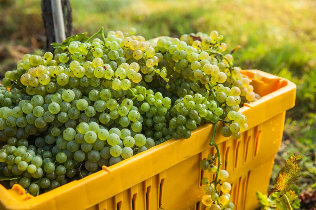 Arrington Vineyards Harvest 2013 65