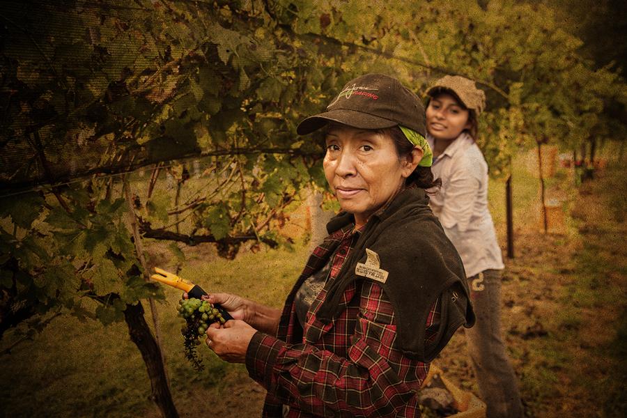 Arrington-Vineyards-Harvest-GGP-2013-A