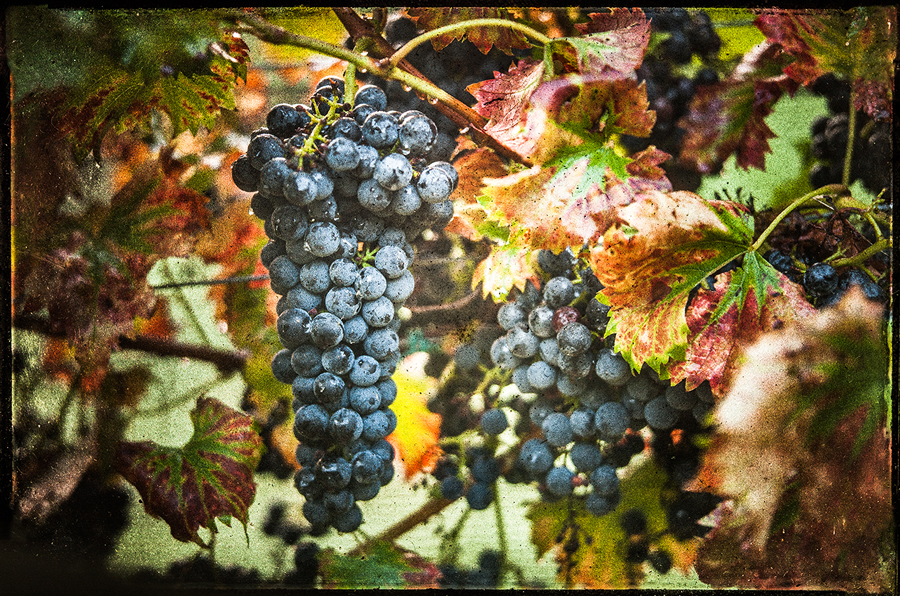 Arrington-Vineyards-Harvest-GGP-f-2013_1